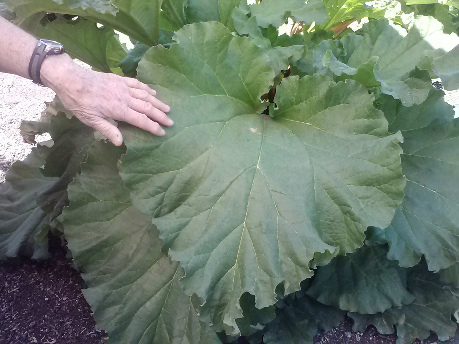 The large leaves of rhubarb are bold in the ornamental landscape and are useful as molds for bird baths and other craft ideas.