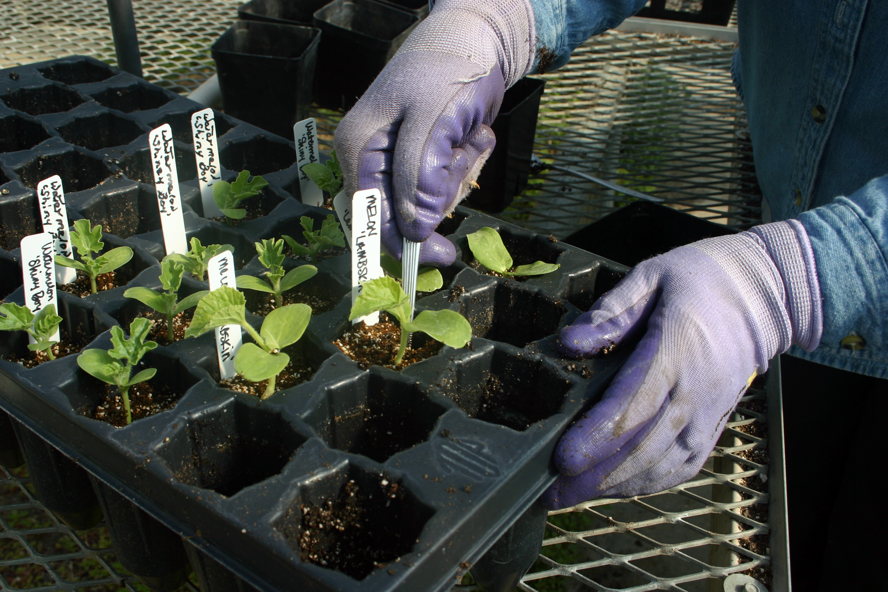 Warm weather crops are more successful if started indoors in a seed flat.