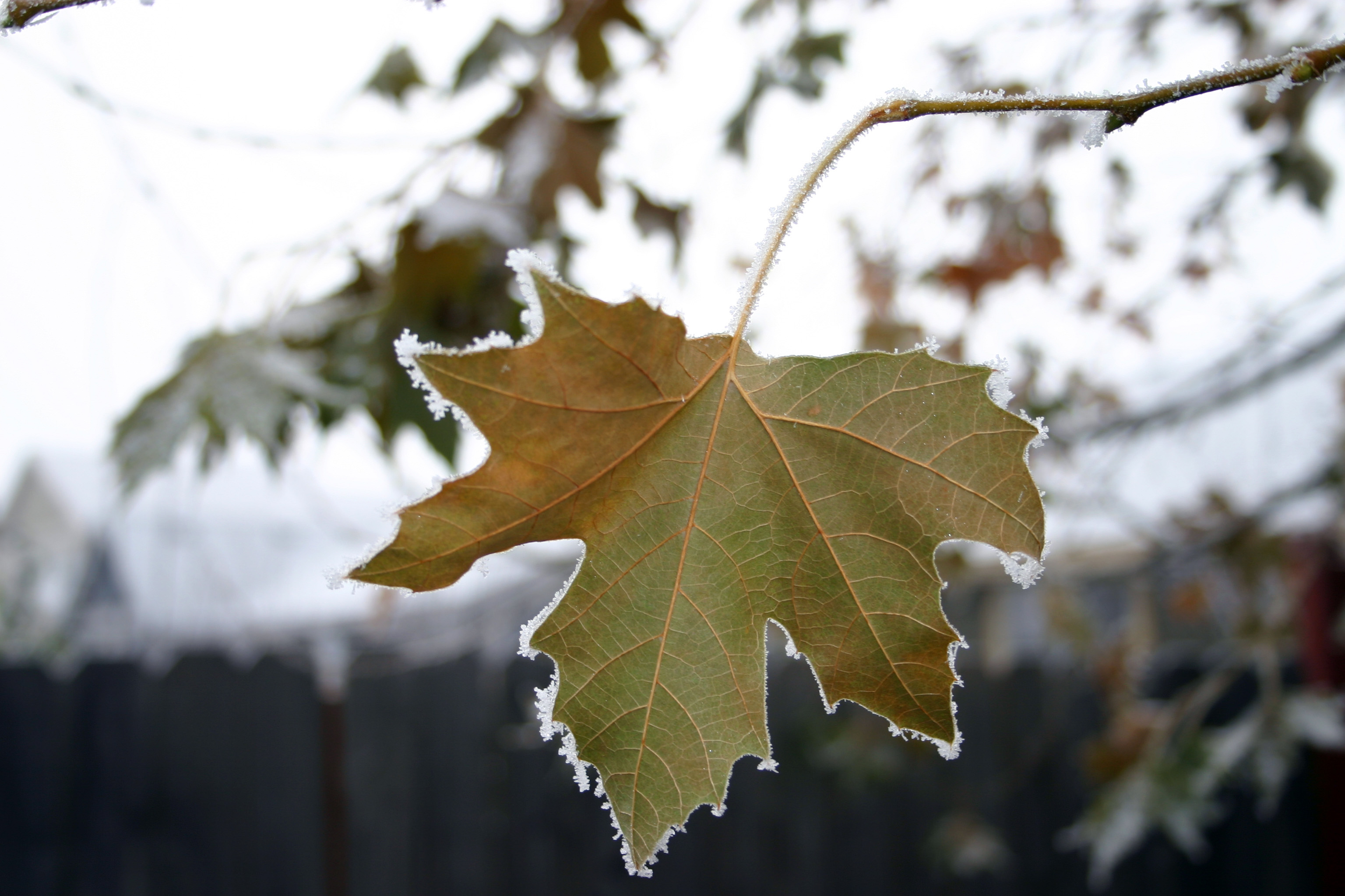 Sycamore leaf with hoary frost.