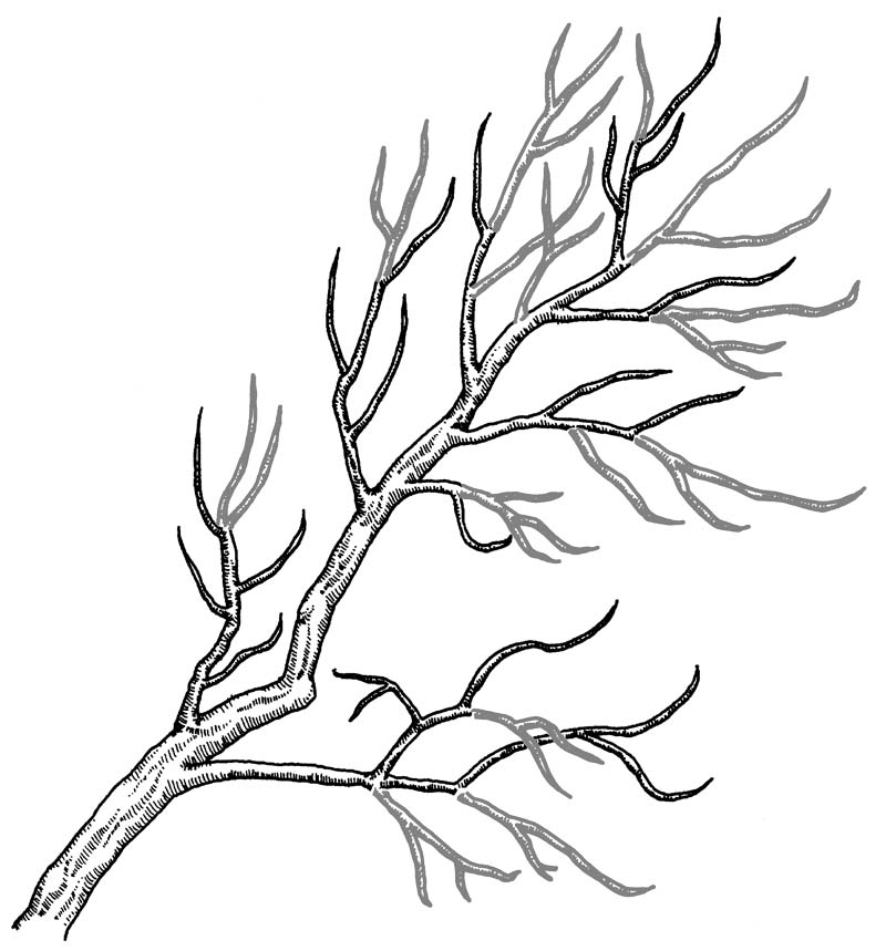 Figure 3. On this well-pruned branch, thin out more shoots toward the end (gray).
