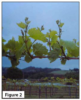 Early grape shoot growth.