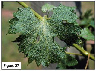 Symptoms of 2,4-D injury on a grape leaf.