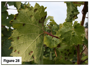 Grape erineum mite symptoms on top and underside of leaf in late season. Photo courtesy Patty Skinkis, Oregon State University.