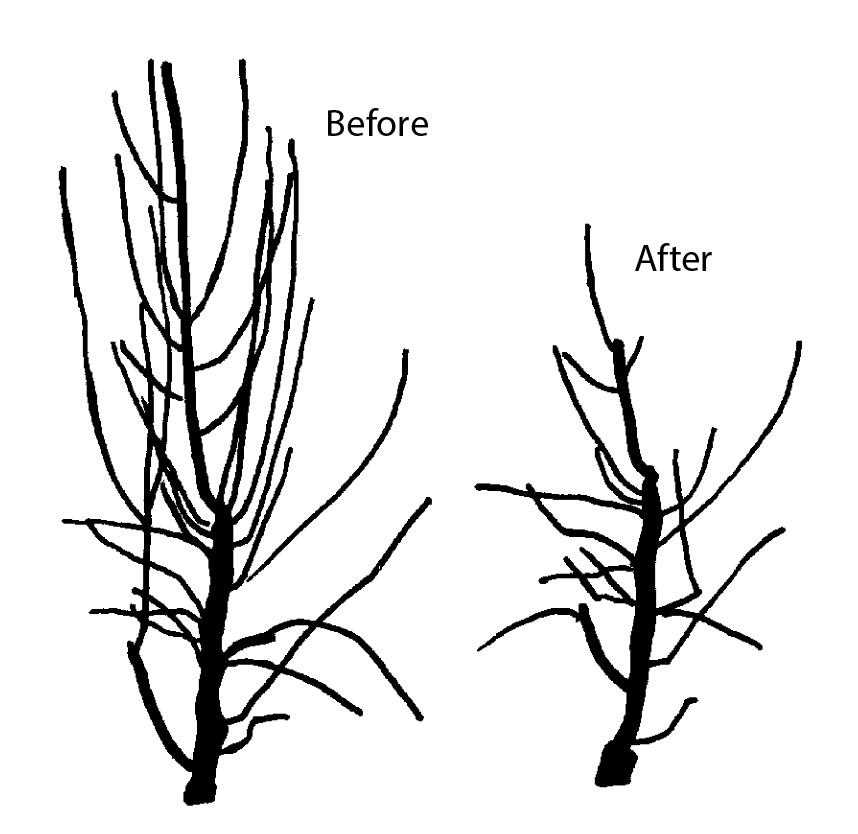 "Shows ""before"" and ""after"" for how to prune the leader."