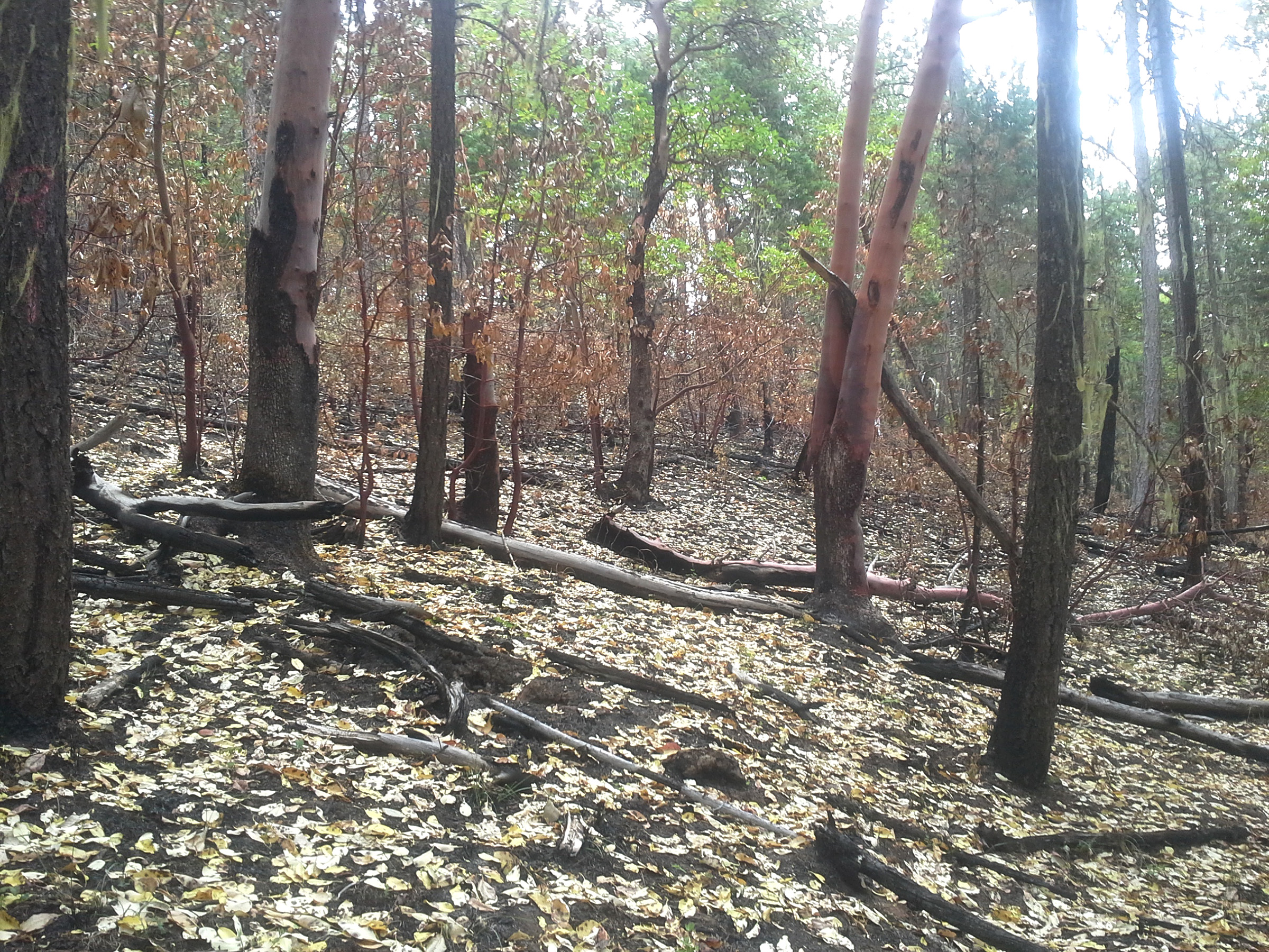 Low-severity fire raised crown base height. Heat-killed madrone leaves quickly provided litter and a level of protection to bare soils. Some smaller madrone were killed outright. Larger madrone were top-killed but are expected to resprout.