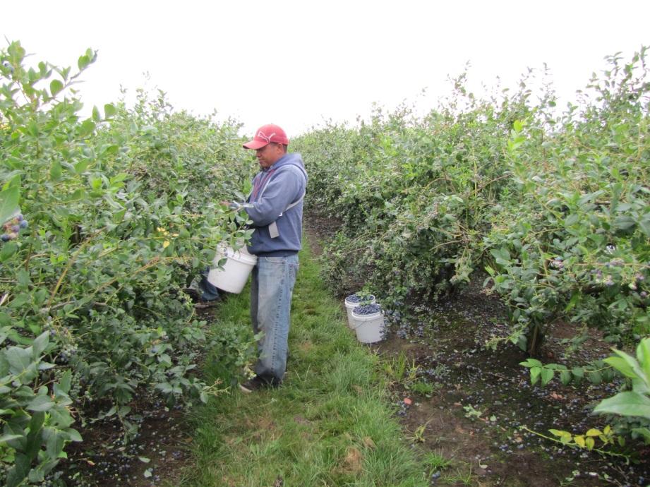 Photo of hand harvesting