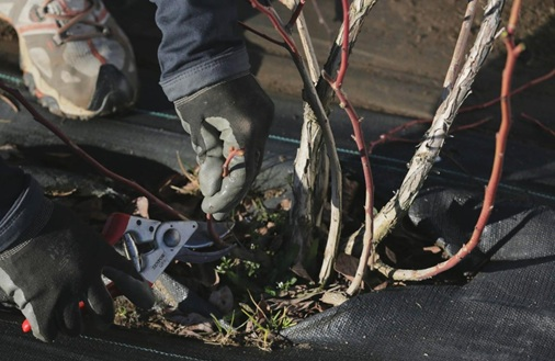 Photo of removing low growth in a blueberry plant