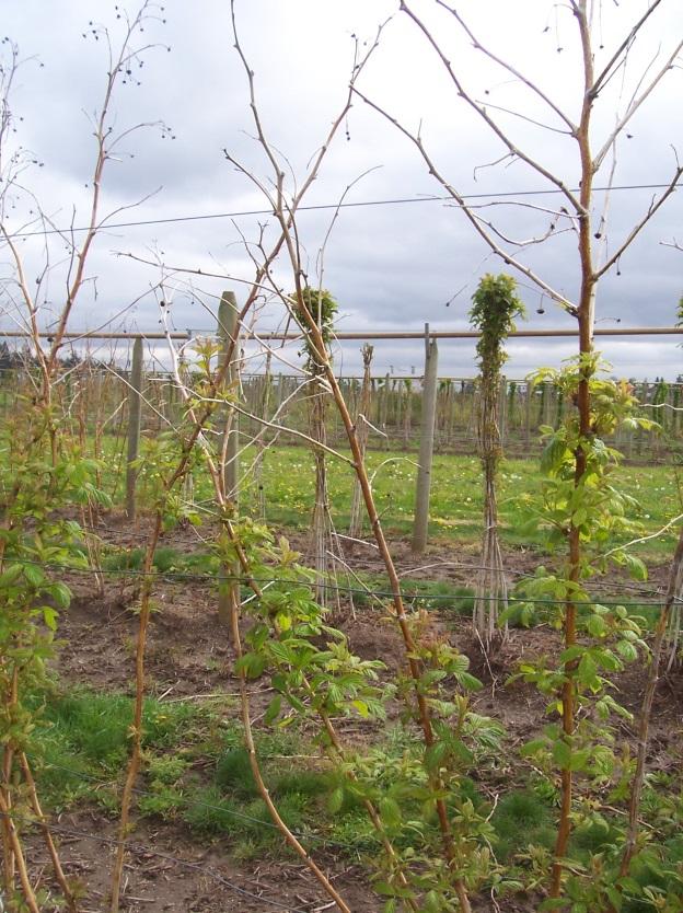Photo of primocane-fruiting raspberry in spring