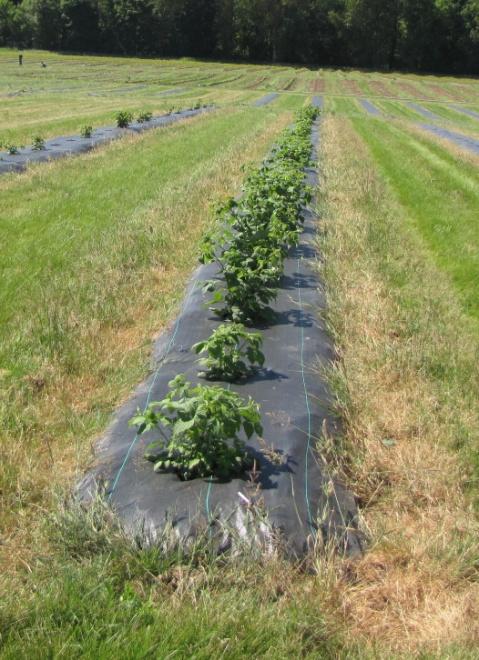 Photo of blackberries growing under weed mat
