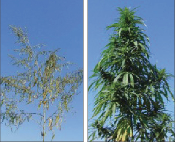 Photos: V. Sikora, used with permission Figure 2. Male (left) and female (right) hemp plants. Male plants flower and die earlier than female plants.
