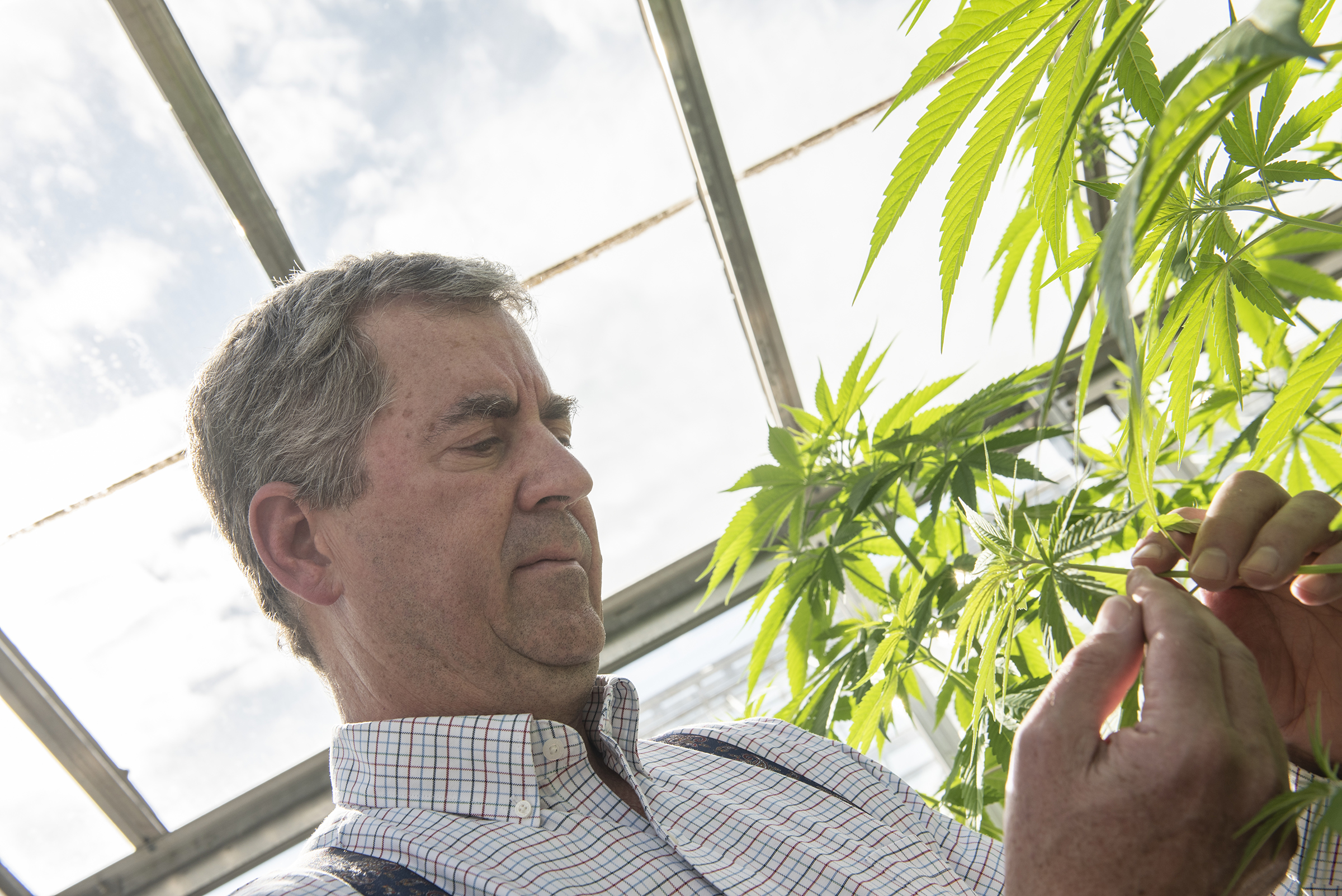 Photo: Stephen Ward, © Oregon State University Oregon State University hemp leader Jay Noller examines an industrial hemp plant.
