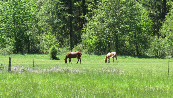 Figure 8. Move animals to another area when a pasture has been grazed to 3 to 4 inches. Allow grass to regrow to 6 to 8 inches before grazing again. Photo: Melissa Fery, © Oregon State University