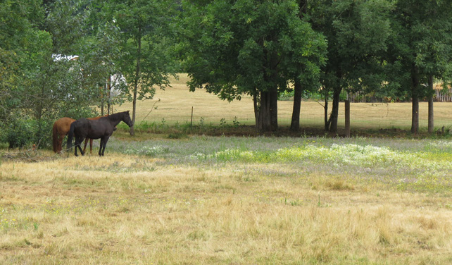 Figure 9. Poorly managed pastures can be overwhelmed by weeds. Good grazing practices can significantly reduce weed problems. Photo: Melissa Fery, © Oregon State University