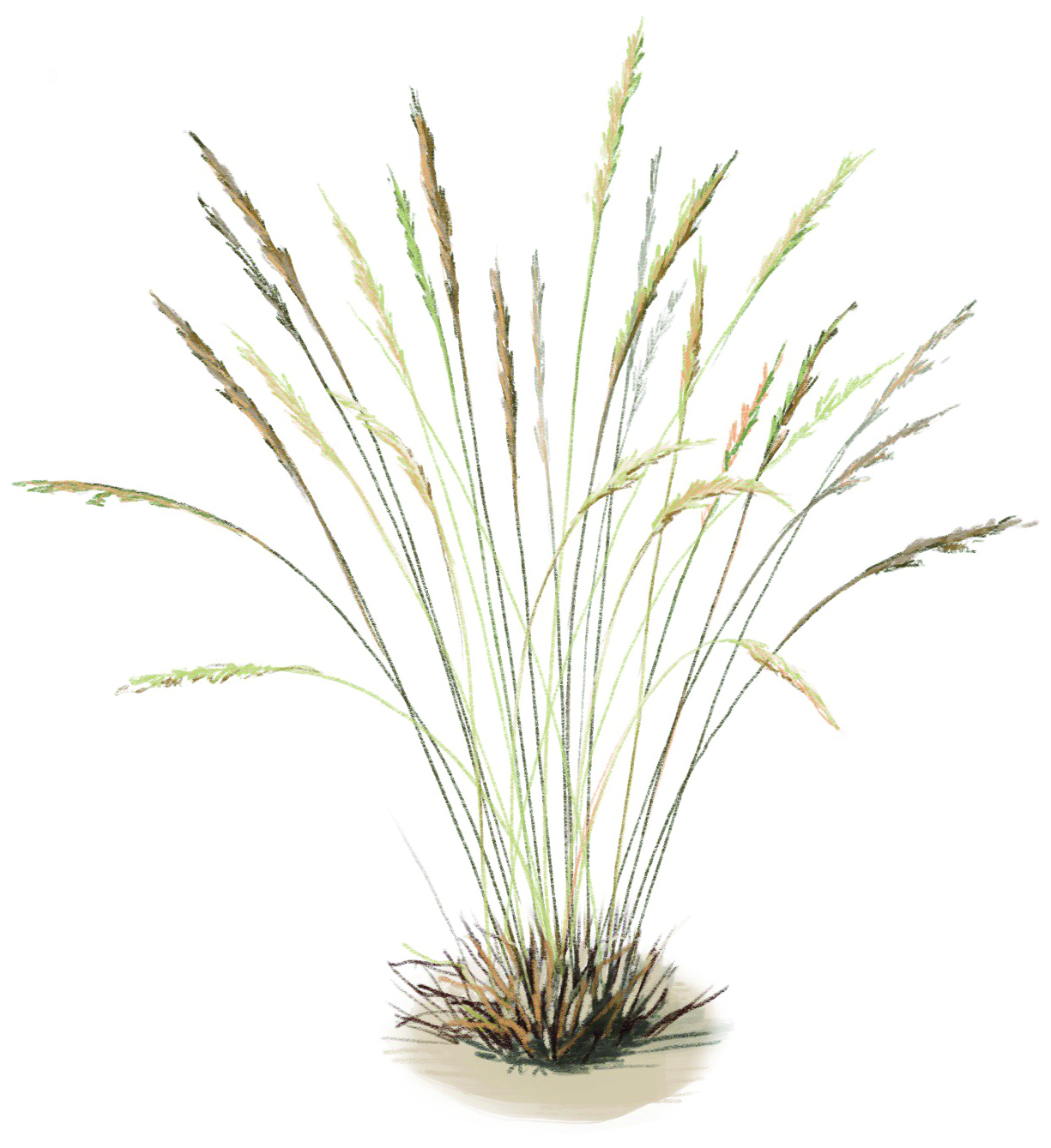 Small perennial bunchgrasses