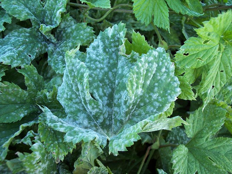 Powdery mildew on hop leaf
