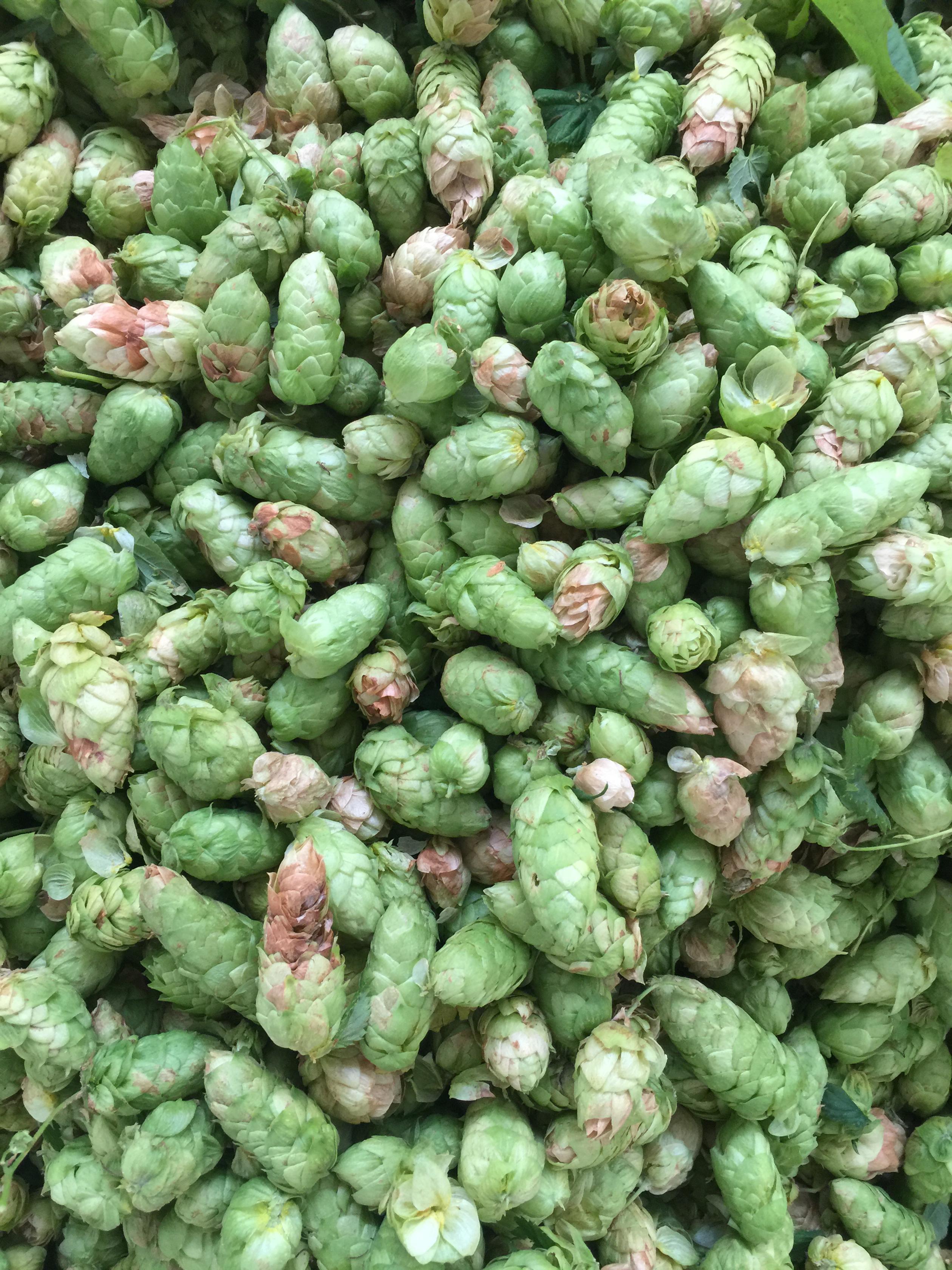 Powdery mildew on hop cones