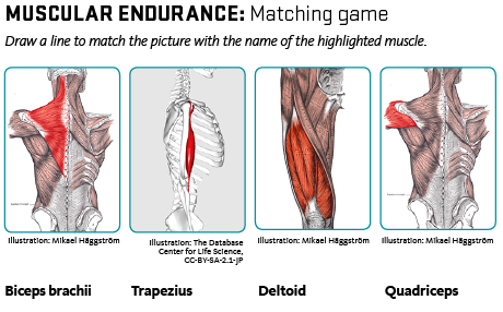 Four muscles: trapezius, biceps brachii, quadriceps, deltoid