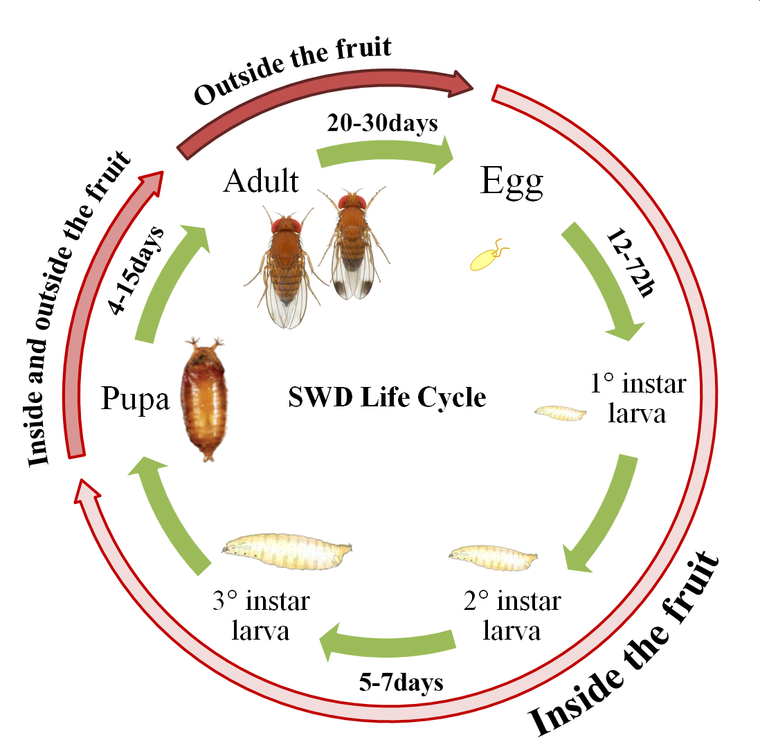 Illustration: Marco Rossi-Stacconi, © Oregon State University Figure 1. Diagram showing distinctive SWD lifecycle stages and locations of each life stage.
