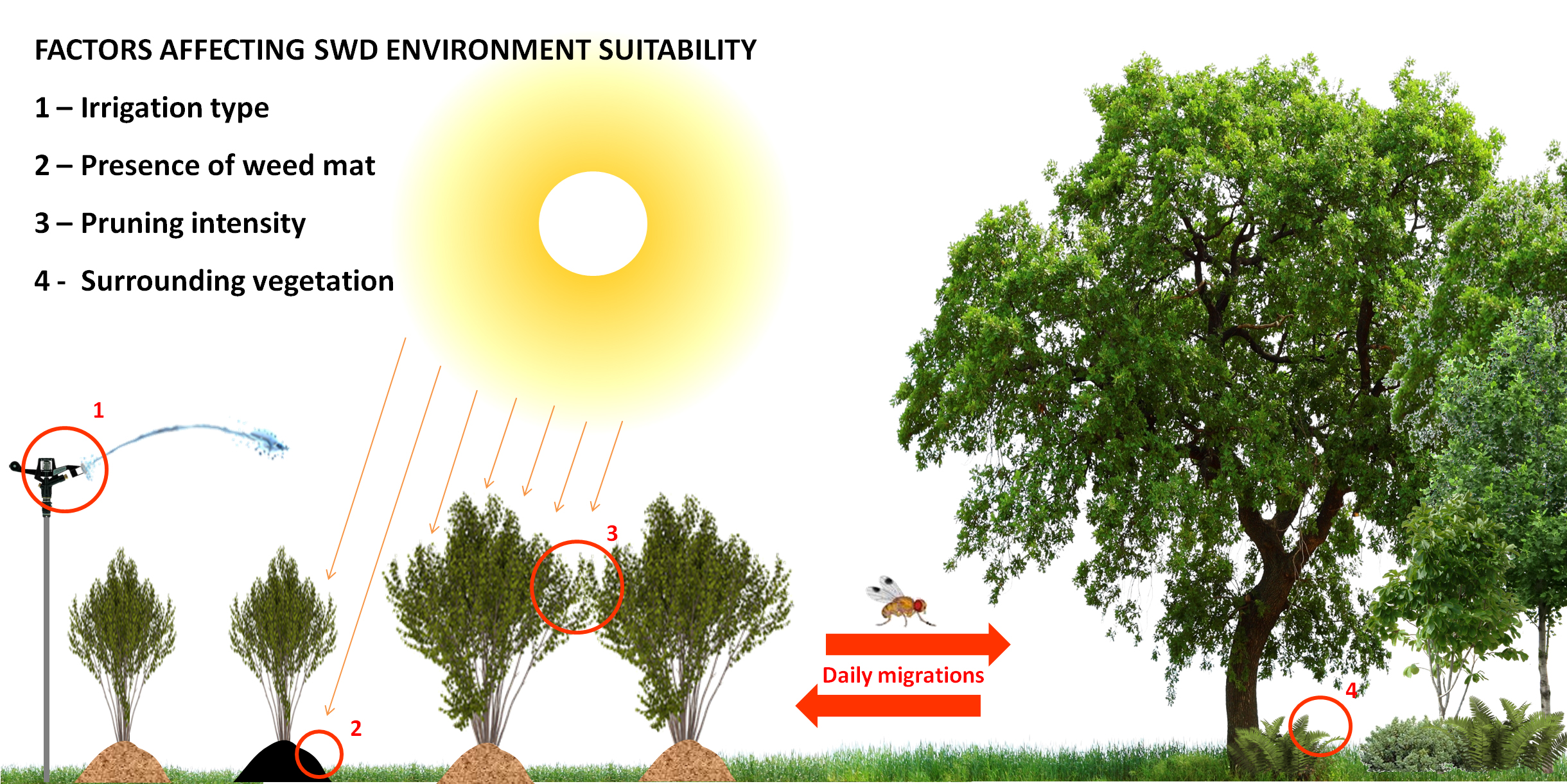 Illustration: Marco Rossi-Stacconi, © Oregon State University Figure 2. Microclimates can fundamentally change SWD pressure. 1) Drip irrigation reduces relative humidity, creating less suitable microclimates compared to overhead irrigation. 2) Weed fabric reduces the ability of pupating larvae to burrow into more suitable microclimates under the soil. 3) Heavier pruning increases light penetration and reduces shade, resulting in microclimates within the crop canopy that are less suited to SWD. Heavier pruni