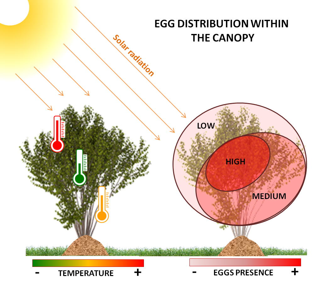 Illustration: Marco Rossi-Stacconi, © Oregon State University  Figure 3. Temperature and sunlight differences within the canopy affect the distribution pattern of eggs by SWD. Because lower temperatures and higher relative humidity are more suitable for SWD survival, flies prefer shaded fruits and fruits in more dense portions of the canopy for egg laying.