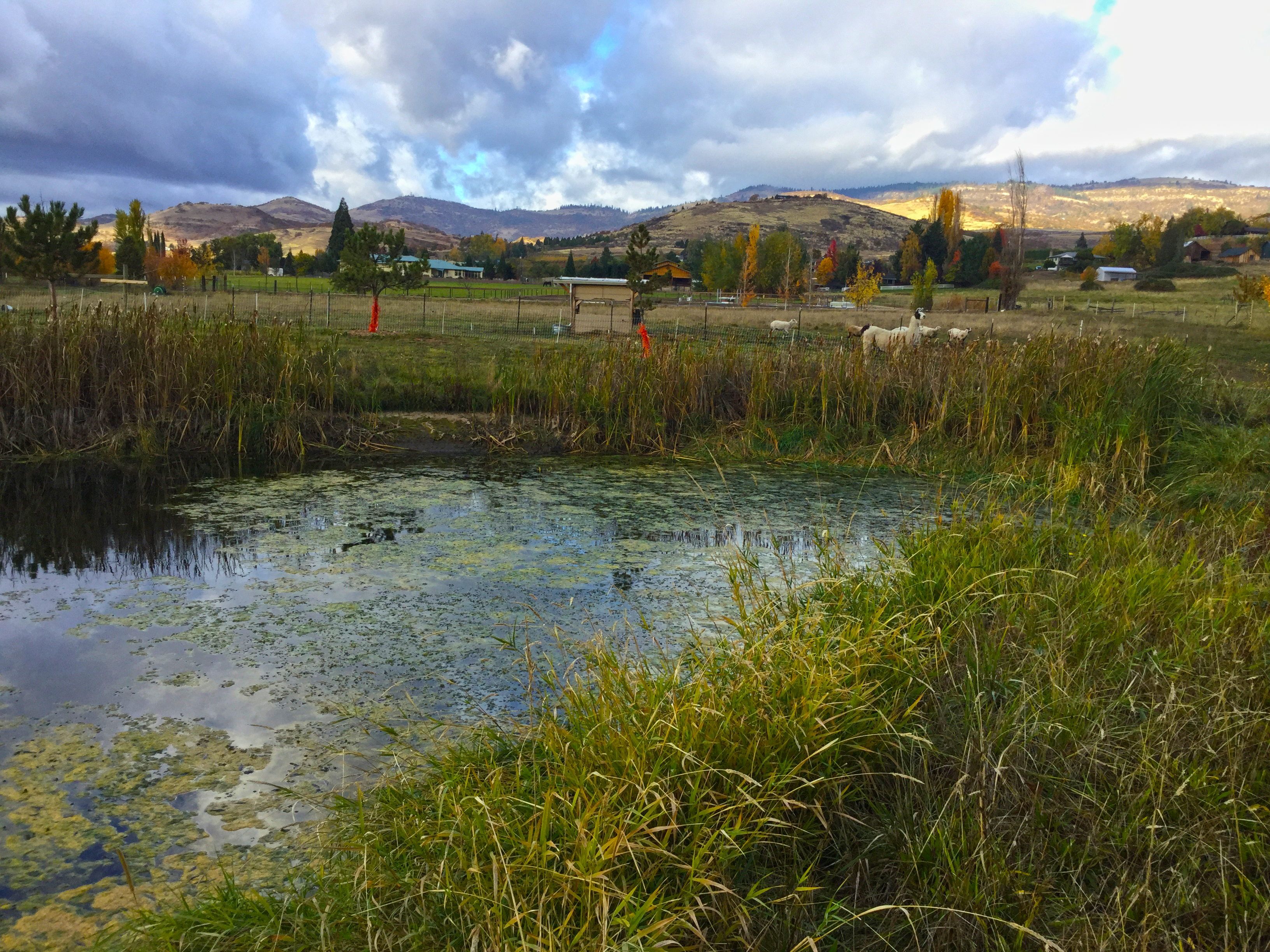 This pond located near animal pastures shows an excess of algae growth.