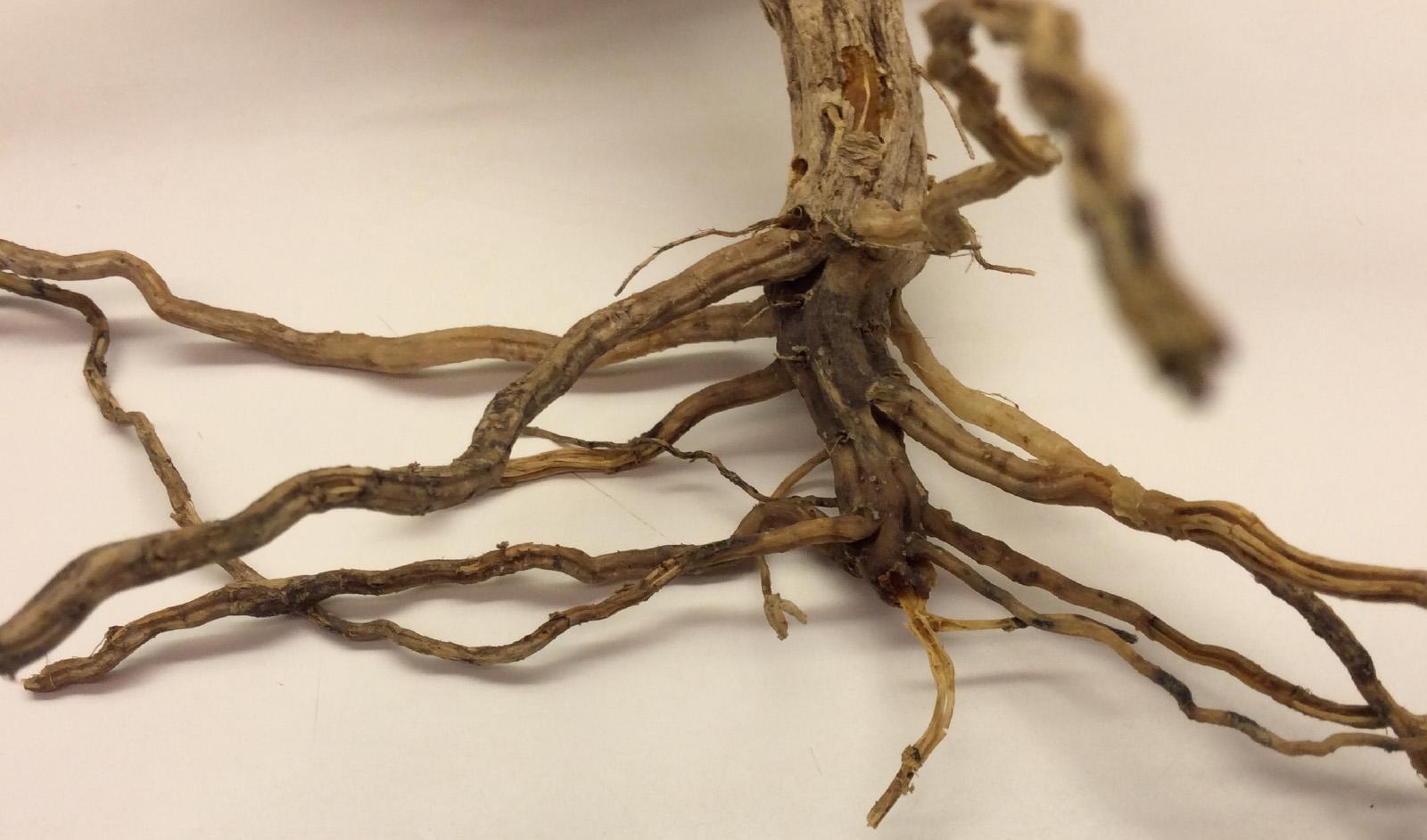 Photo: Hannah Rivedal, © Oregon State University Figure 6. Squash root rot.