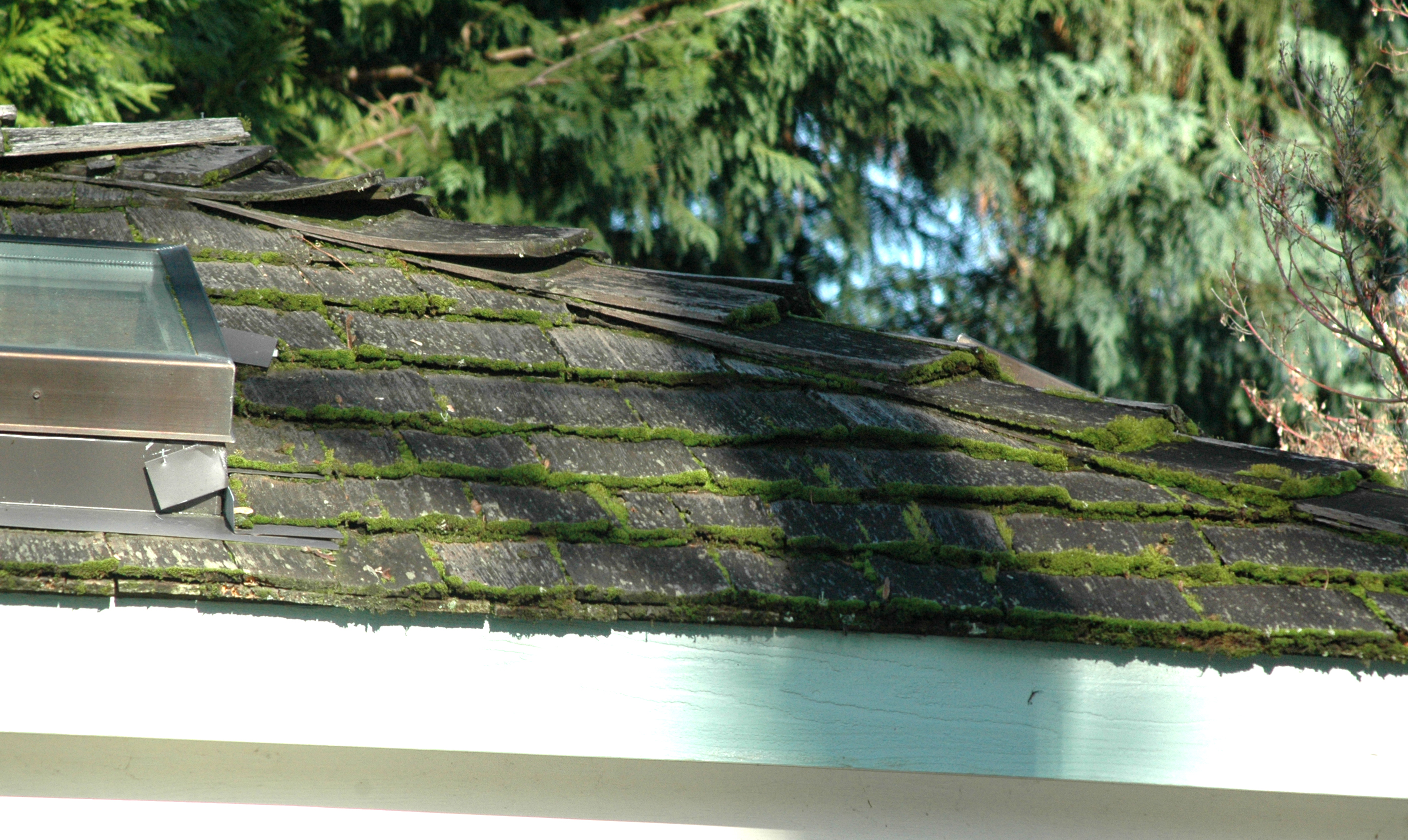 Moss buildup on the thicker cut ends of shingles