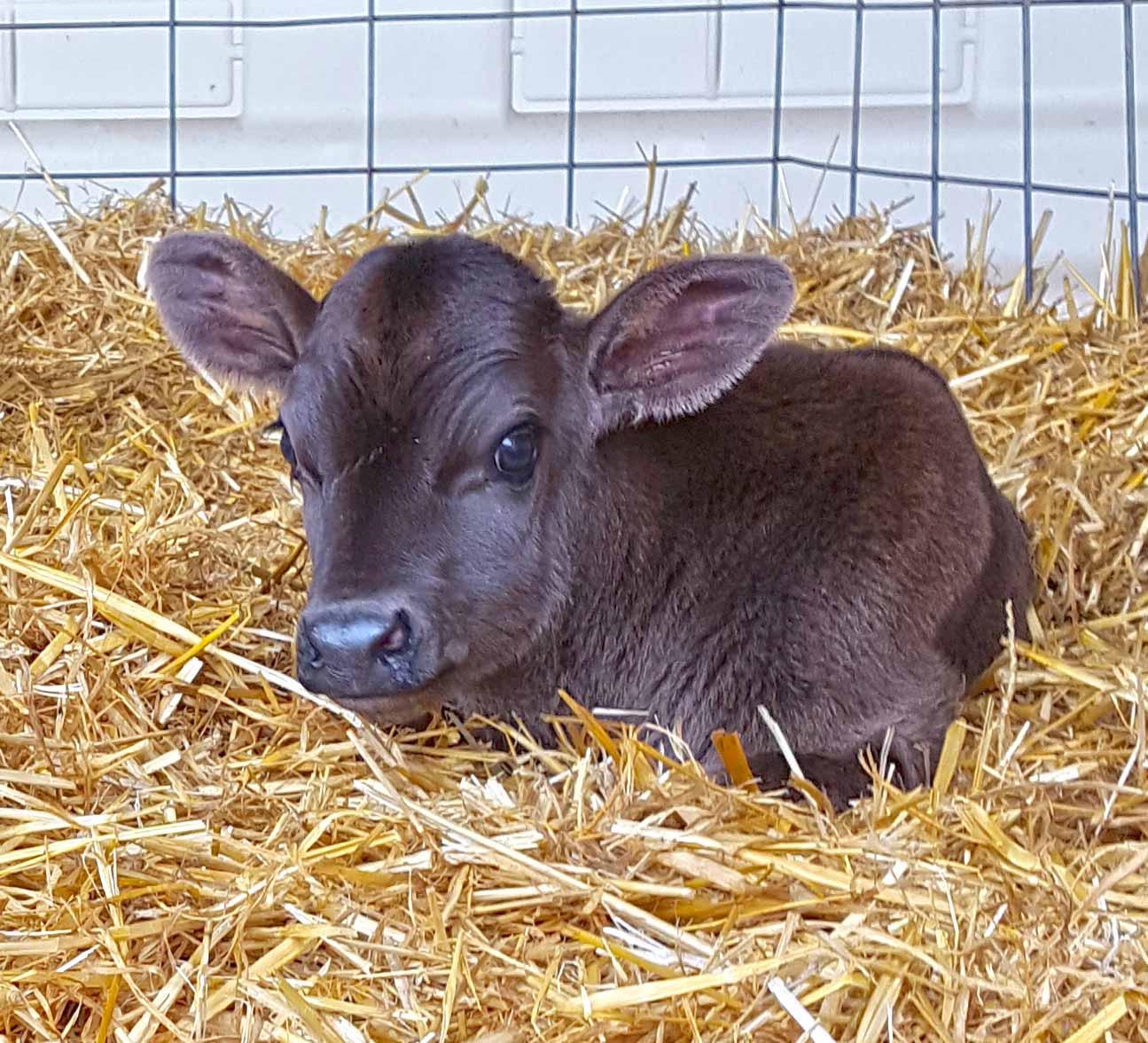 Brown calf resting in pen