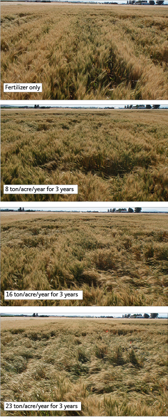 Photo: Amber Moore  Figure 17. Lodging response to increasing manure application rate, 'Jefferson' hard red spring wheat (Kimberly, Idaho, July 21, 2015). Dairy manure application rates are expressed on a dry weight basis.