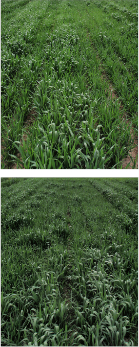 Photos: Megan Satterwhite 'Jefferson' hard red wheat stand on June 3, 2015 with fertilizer (top) and with three years of repeated manure applications at 23 ton/acre on a dry weight basis (bottom).