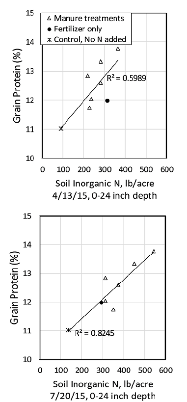 Figure 7. Comparison of mineralized N and grain protein concentration for various manure and non-manure treatments, two weeks after planting (top) and one week prior to grain harvest (bottom). Soil inorganic N reflects the amount of N accumulated at the time of sampling and includes fertilizer N additions applied in late March. Soil inorganic N was measured using the buried bag method (Figure 6); soils from the plots were collected and incubated in gas-permeable, sealed plastic bags in the field at depths o