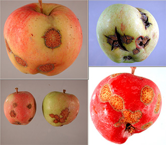 Four separate images of apple scab damage.
