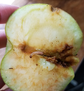 Image of dark damage at core of apple with codling moth larva