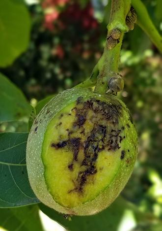 Figure 8. Husk fly damage on backyard walnuts