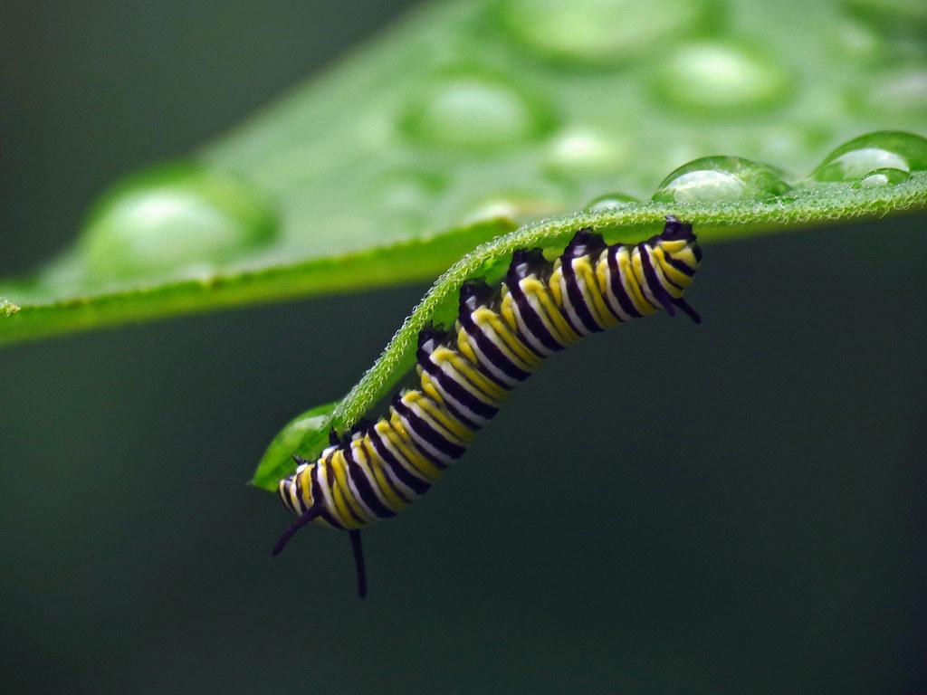 Monarch larvae on milkweed