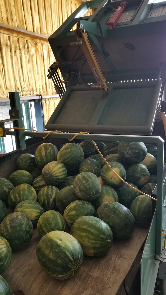 Watermelons after harvest on their way to get ready for market.