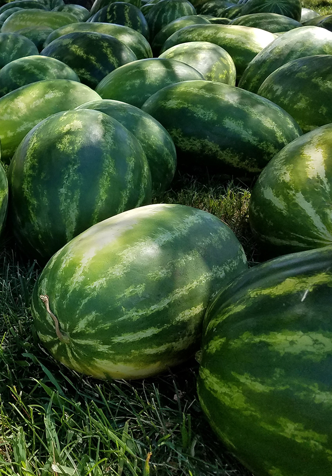 Watermelon grown in the Pacific Northwest east of the Cascades.