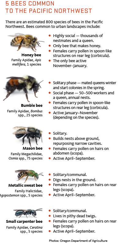 There are an estimated 800 species of bees in the Pacific Northwest. Bees common to urban landscapes include:  Honey bee Highly social — thousands of nestmates and a queen. Only bee that makes honey. Females carry pollen in spoon-like structures on rear leg (corbicula). The only bee active November–January. Bumble bee Solitary phase — mated queens winter and start colonies in the spring. Social phase — 50–500 workers and a queen, annual nests. Females carry pollen in spoon-like structures on rear leg (corbi