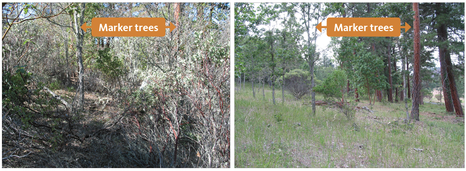 Thick understory, left, and cleared understory, right