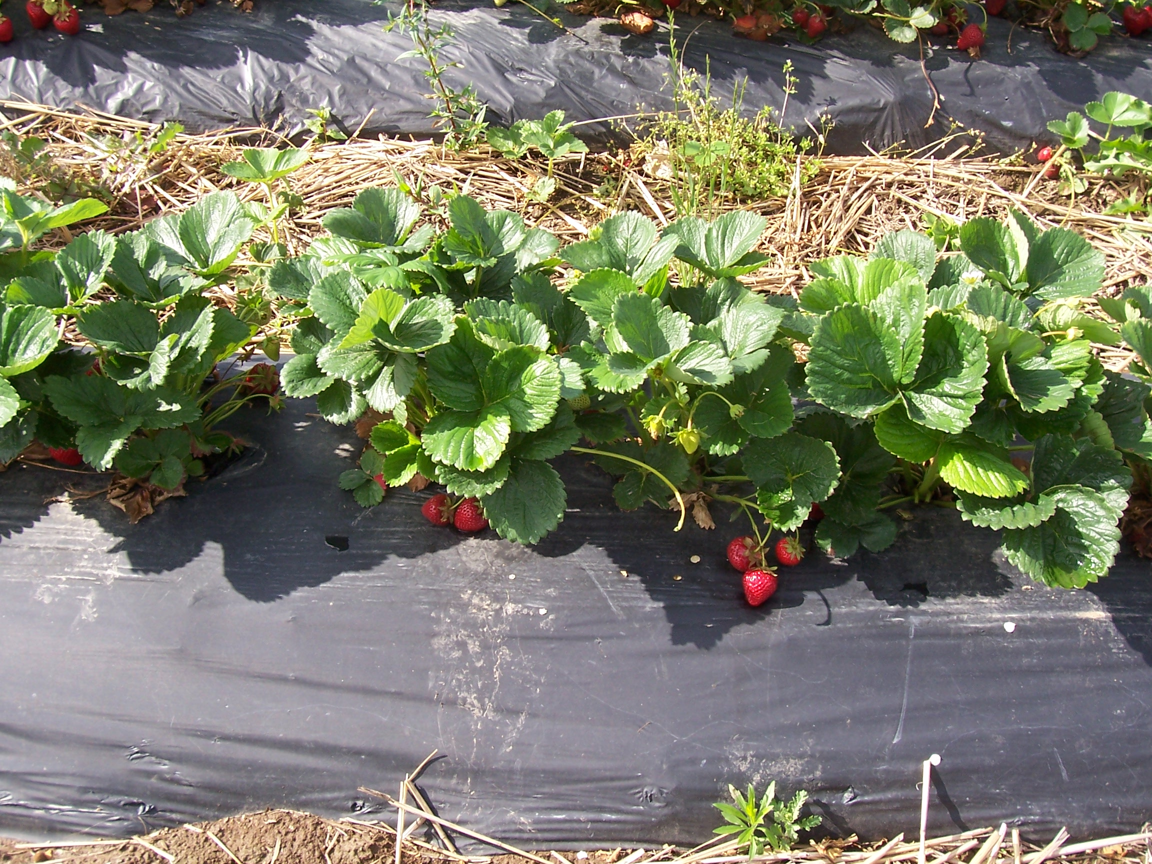 'Albion' strawberries growing in a hill system on raised beds covered with plastic mulch.