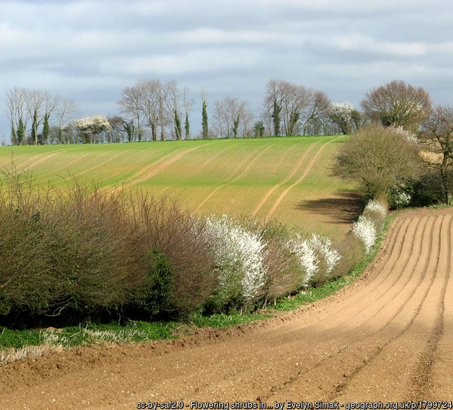 A hedgerow between two fields