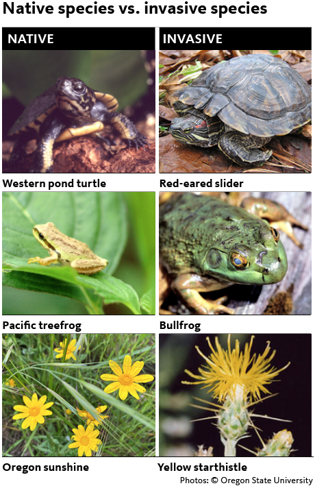 Native western pond turtle, invasive red-eared slider. Native Pacific tree frog, invasive bullfrog. Native Oregon sunshine, invasive yellow star thistle.