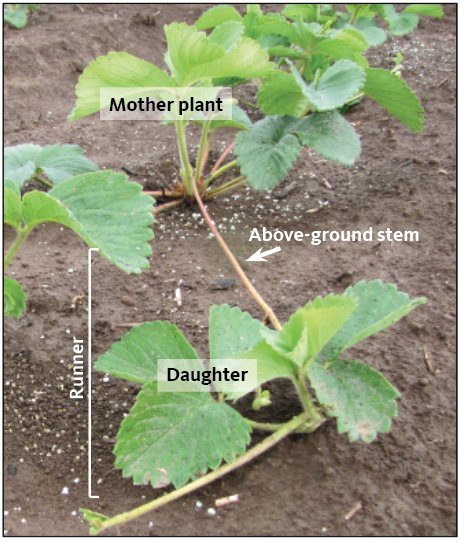 Figure 2. A new planting of June-bearing strawberry shows mother plants from a nursery and new runners being produced (above-ground stem and daughter plants).
