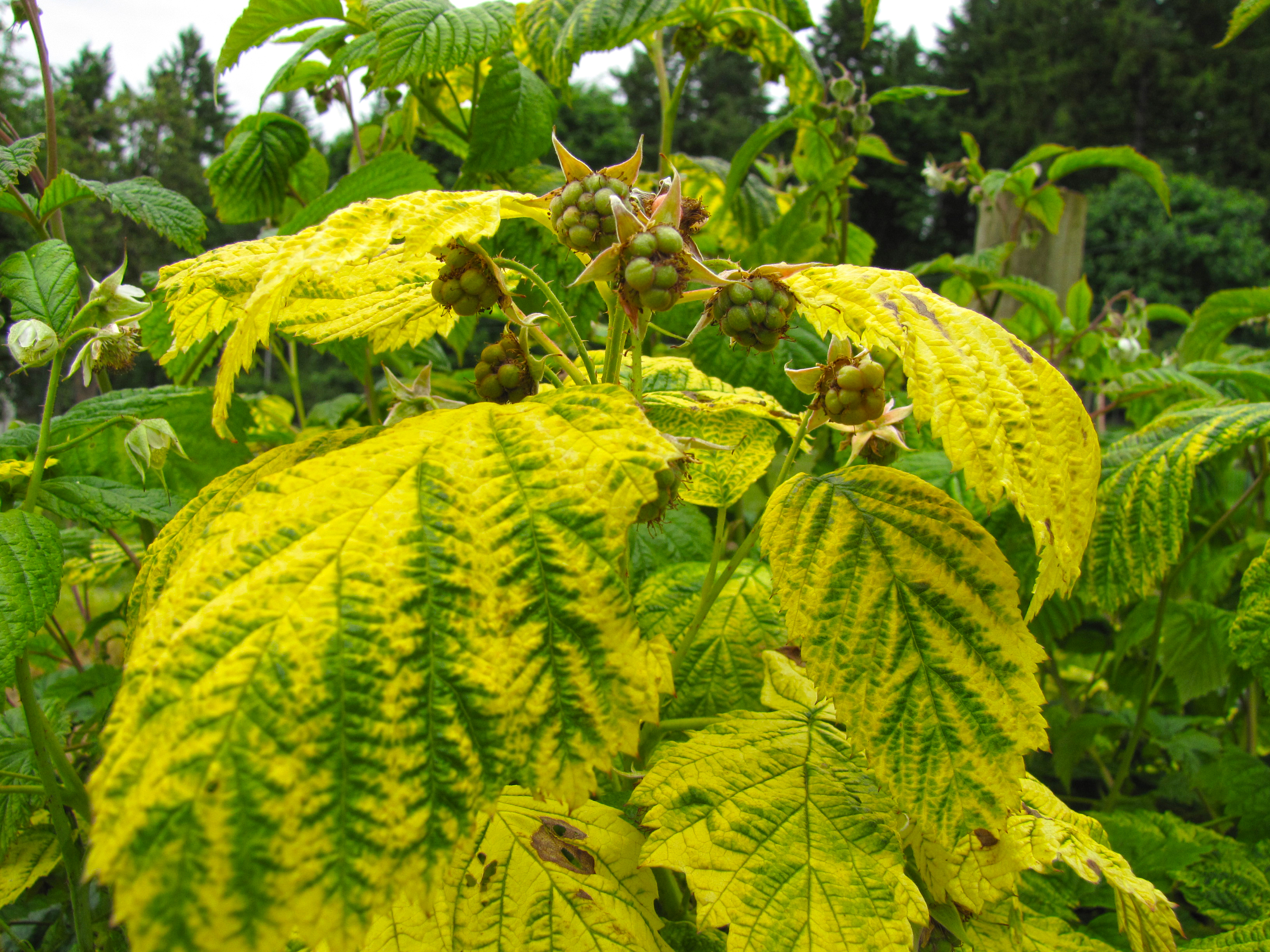 yellow leaves with green veins