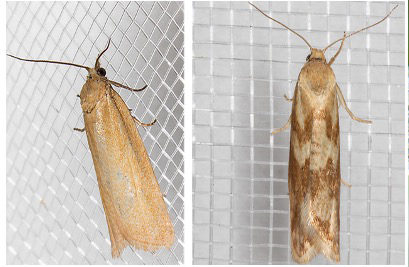 Photo: Joseph Highbee, © Bug-Guide.net Figure 1. Male moth (left) and female moth (right).