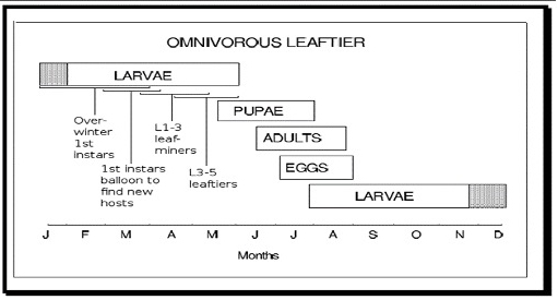 Source: Ralph E. Berry. 1998©. Insects and Mites of Economic Importance in the Northwest.  Figure 3. The life cycle of the omnivorous leaftier.