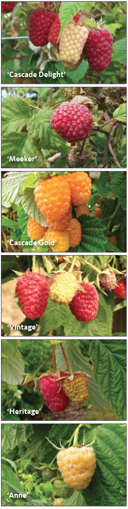 different varieties of raspberries