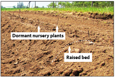 Figure 9. Red raspberry planted into raised beds made of mounded soil.