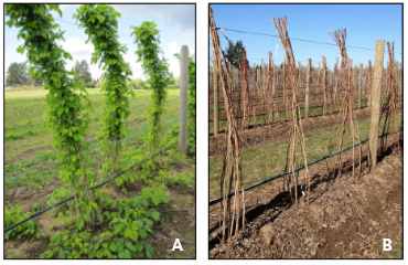 Raspberry in a hill system in early spring (left) and in winter (right)