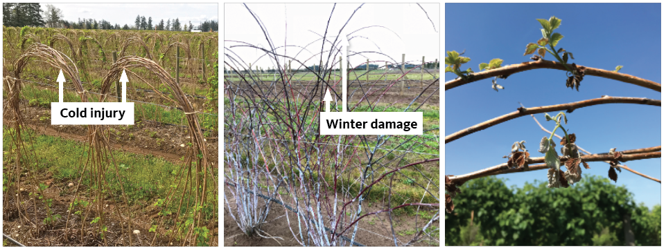 Cold injury and winter damage to red raspberry and black raspberry